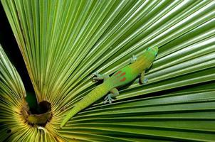 kamouflerad gekko