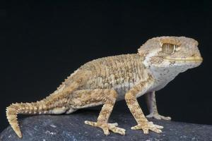 hjälm gecko / tarentola chazaliae foto