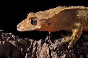kaledonisk krönad gecko på en gren foto