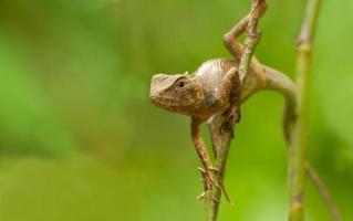 indisk gekko på en trädstam foto