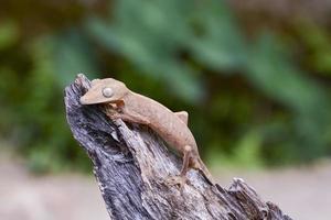 fodrad bladstjärtsgekko (uroplatus), marozevo, madagaskar foto