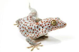 tokay gecko foto