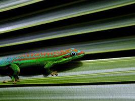 dag gecko
