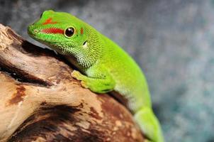 madagaskar dag Gecko foto