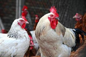 kycklingar på traditionellt frigående fjäderfäbruk