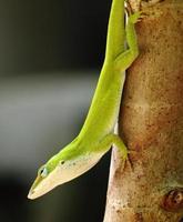 grön anole ödla foto