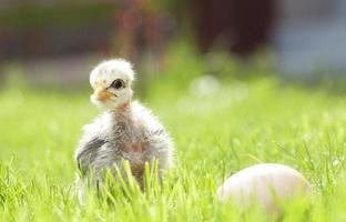 söt kyckling på det gröna gräset foto