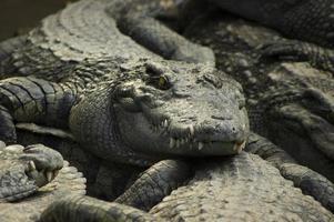 krokodiler foto