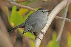 grå catbird (dumetella carolinensis) foto