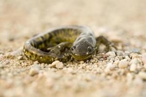 närbild tiger salamander foto