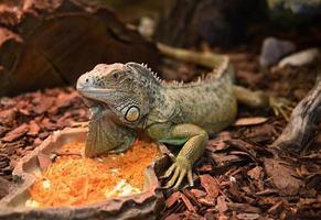 iguana iguana. foto