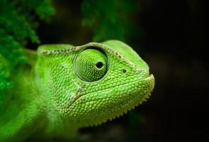 grön kameleont foto