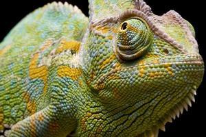 jemen / slöja kameleon foto