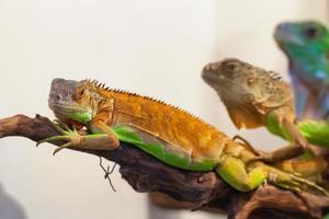 liten leguan med grön hud på nära håll foto