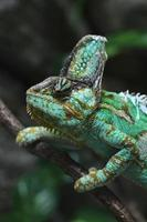 slörad kameleont (chamaeleo calyptratus). foto