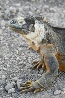 iguana för vildmark foto
