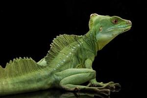 gröna basilisker foto