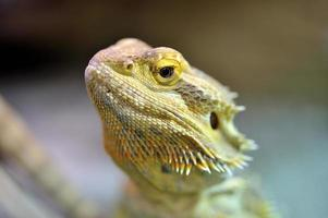 skäggig drake - pogona vitticeps foto