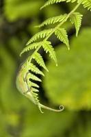 fern kameleont foto