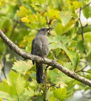 grå catbird ligger på ett träd foto