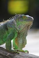 kvinnlig grön leguan foto