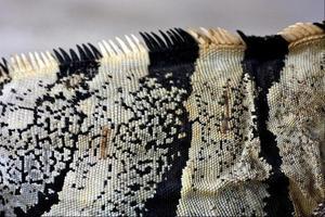 abstrakt sida av varanus i mexico tulum foto