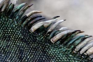 marin leguan, galapagosöarna foto
