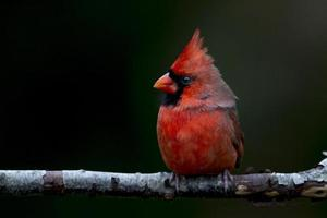 porträtt av en kardinal foto