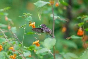 colibri foto