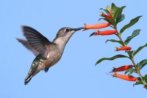 rubin-halsad kolibri på en cigarrblomma foto