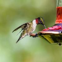 kolibri på röd matare foto
