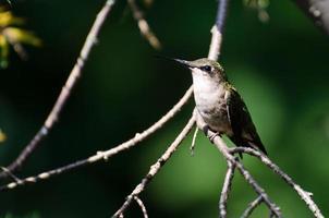 rubinstruktad kolibri uppflugen i ett träd foto