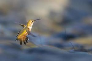 flygande kolibri foto