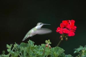 rubin halsade kolibri och blomma foto