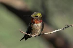 rubin halsade kolibri foto
