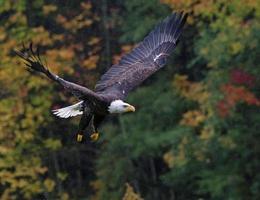 höjande skallig örn på hösten