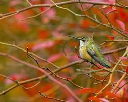 rufus kolibri som sätter sig foto
