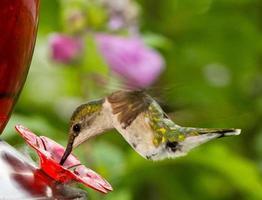kvinnlig rubin-halsad kolibri vid mataren foto