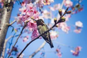 Annas kolibri på japansk körsbärsträd foto