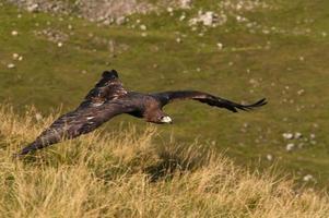 låg flygande örn foto