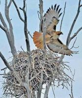 röd tailed hawk foto