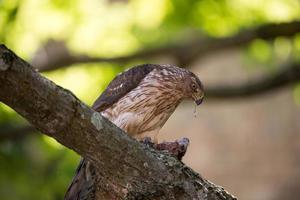 kooper hök matar på fågel foto