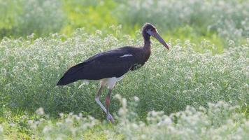 abdims stork (ciconia abdimii) i etosha nationalpark foto