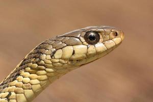strumpeband orm (thamnophis sirtalis) foto