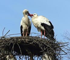 vit stork foto