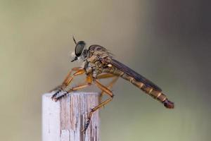 rovflugor