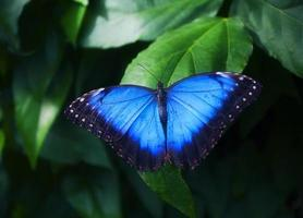 blå fjäril på grönt blad