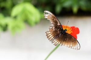 flyga fjäril nu foto