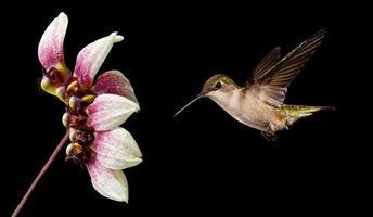 kolibri flyger över svart bakgrund foto