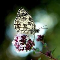 vit fläckig fjäril foto